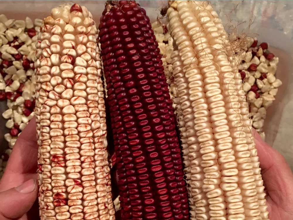 Bloody Butcher Corn
